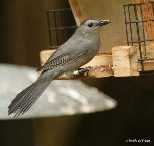 gray catbird Clarissa DK7A2498© Maria de Bruyn