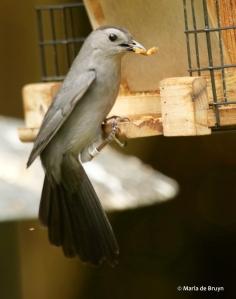 gray catbird Clarissa DK7A2503© Maria de Bruyn res
