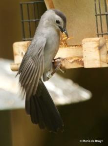 gray catbird Clarissa DK7A2504© Maria de Bruyn res