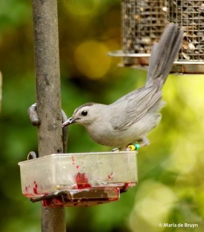 gray catbird Clarissa DK7A2647© Maria de Bruyn res