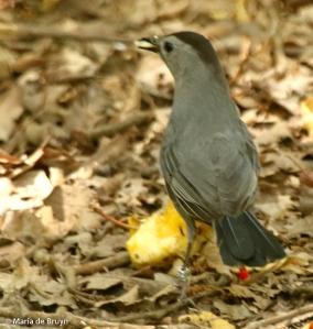 gray catbird DK7A2255© Maria de Bruyn res