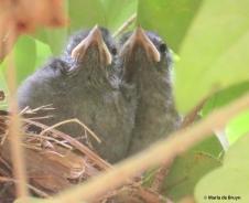 Gray catbird IMG_3887© Maria de Bruyn res