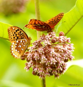great spangled fritillary DK7A5011© Maria de Bruyn res