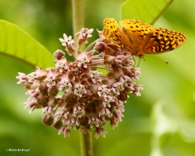 great spangled fritillary DK7A5350© Maria de Bruyn res