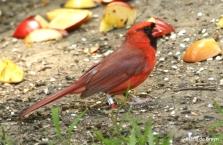 northern cardinal Clancy  DK7A7753© Maria de Bruyn res