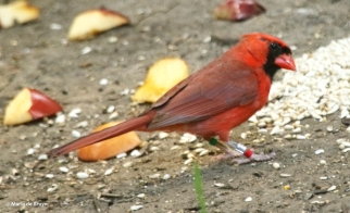 Northern cardinal Clancy  DK7A7771© Maria de Bruyn res