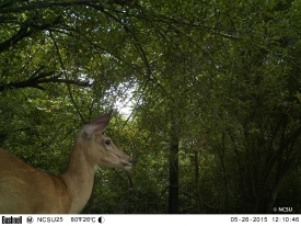 white-tailed deer EK000425© Maria de Bruyn res