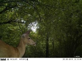 white-tailed deer EK000425© Maria de Bruyn res