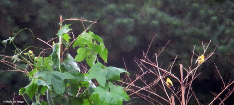 American goldfinch IMG_5117© Maria de Bruyn res
