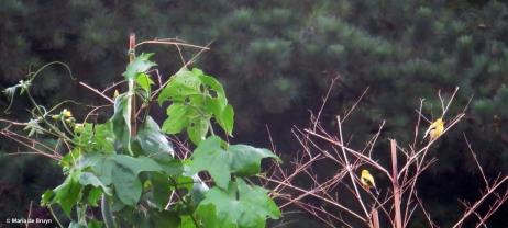 American goldfinch IMG_5117© Maria de Bruyn res