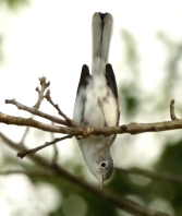 blue-gray gnatcatcher 1-de Bruyn, Maria DK7A5944 Supported on the balance beam