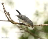 Blue-gray gnatcatcher DK7A5920© Maria de Bruyn