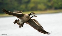 Canada goose DK7A6205© Maria de Bruyn res