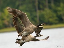 Canada goose DK7A6207© Maria de Bruyn res