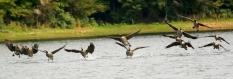 Canada goose DK7A6472© Maria de Bruyn res