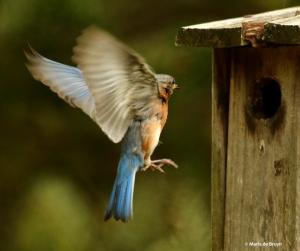 Eastern bluebird DK7A3081© Maria de Bruyn res