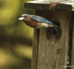 Eastern bluebird DK7A3137© Maria de Bruyn RES