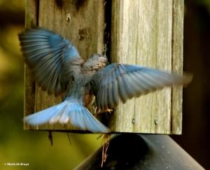 Eastern bluebird DK7A3149© Maria de Bruyn res