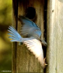 Eastern bluebird DK7A3174© Maria de Bruyn res
