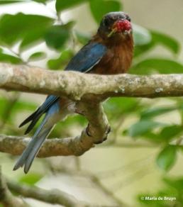 Eastern bluebird DK7A3411© Maria de Bruyn res