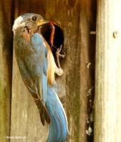 Eastern bluebird DK7A3842© Maria de Bruyn res