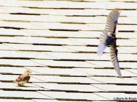 Eastern bluebird DK7A4386© Maria de Bruyn res