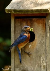 Eastern bluebird DK7A7038© Maria de Bruyn res