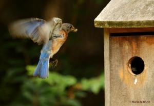 Eastern bluebird DK7A7145© Maria de Bruyn res