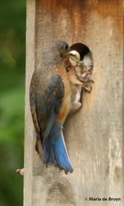 Eastern bluebird DK7A8089© Maria de Bruyn