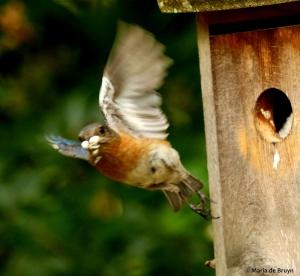Eastern bluebird DK7A8106© Maria de Bruyn res