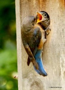 Eastern bluebird DK7A8265© Maria de Bruyn res
