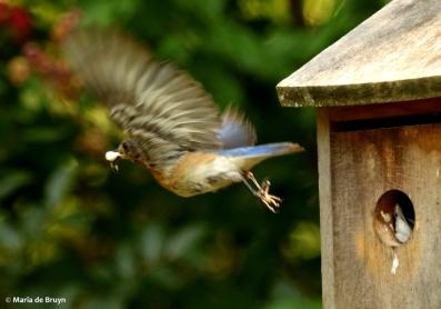 Eastern bluebird DK7A8351© Maria de Bruyn res