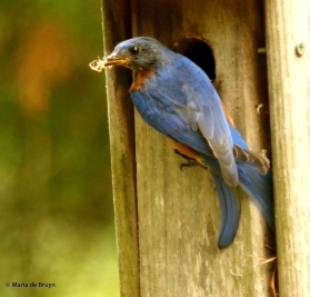 Eastern bluebird DK7A8706© Maria de Bruyn res