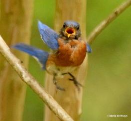 Eastern bluebird DK7A8714© Maria de Bruyn