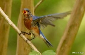 Eastern bluebird DK7A8715© Maria de Bruyn res
