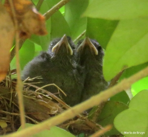 gray catbird IMG_3888© Maria de Bruyn