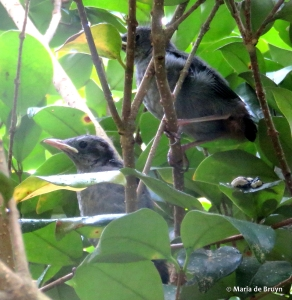 gray catbird IMG_3903© Maria de Bruyn res