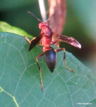 Paper wasp IMG_5182© Maria de Bruyn res