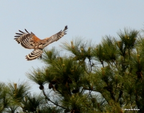 red-shouldered hawk DK7A7354© Maria de Bruyn