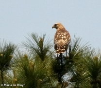 red-shouldered hawk DK7A7371© Maria de Bruyn