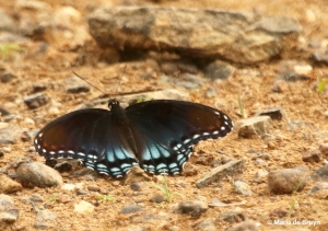 red-spotted purple DK7A6143© Maria de Bruyn res