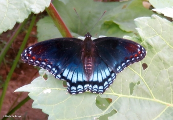 red-spotted purple IMG_5151© Maria de Bruyn res
