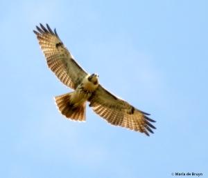 red-tailed hawk DK7A6631© Maria de Bruyn