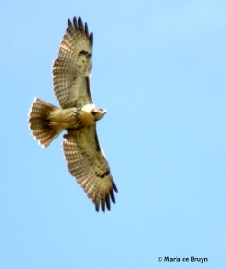 red-tailed hawk DK7A6633© Maria de Bruyn