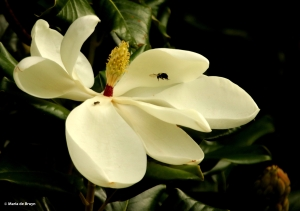 Southern magnolia DK7A5439© Maria de Bruyn res