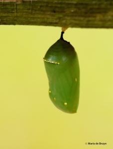 monarch DK7A6441© Maria de Bruyn res