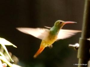 buff-bellied hummingbird DK7A1131© Maria de Bruyn