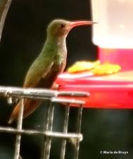 buff-bellied hummingbird DK7A1171© Maria de Bruyn