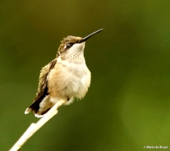 ruby-throated hummingbird DK7A0060© Maria de Bruyn res