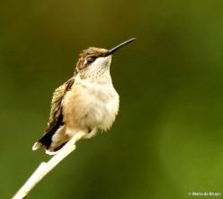 ruby-throated hummingbird DK7A0060© Maria de Bruyn res